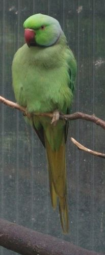 Halsbandsittich (Vogelpark Abensberg)
