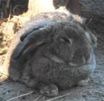 Hasenkaninchen (Wildpark Poing)
