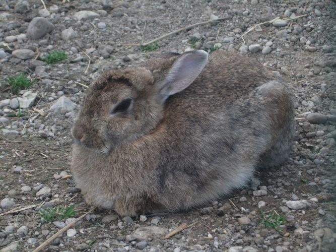 Hauskaninchen (Bergtierpark Blindham)