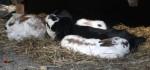 Hauskaninchen (Wildpark Poing)