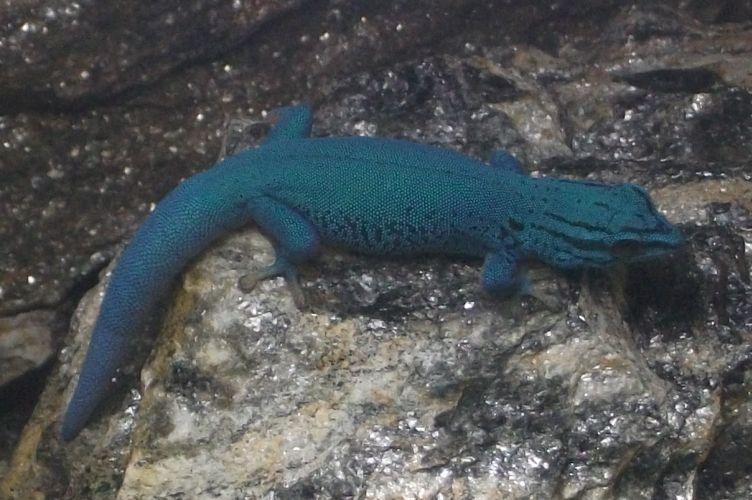 Himmelblauer Zwergtaggecko (Tierpark Hellabrunn)
