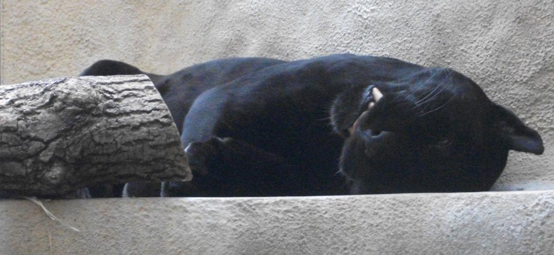 Jaguar (Tierpark Hellabrunn)