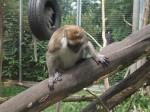Javaneraffe (Zoo Linz)