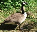 Kanadagans (Vogelpark Olching)