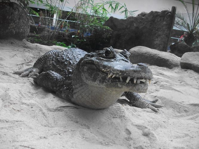 Krokodilkaiman (Aquazoo Schmiding)