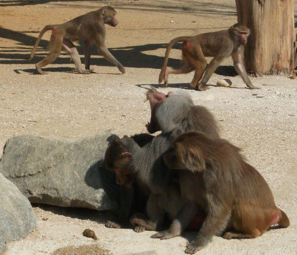 Mantelpavian (Zoo Augsburg)