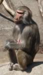 Mantelpavian (Zoo Frankfurt)