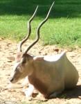 Mendesantilope (Tiergarten Nürnberg)