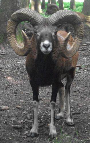 Europäisches Mufflon (Wildpark Poing)