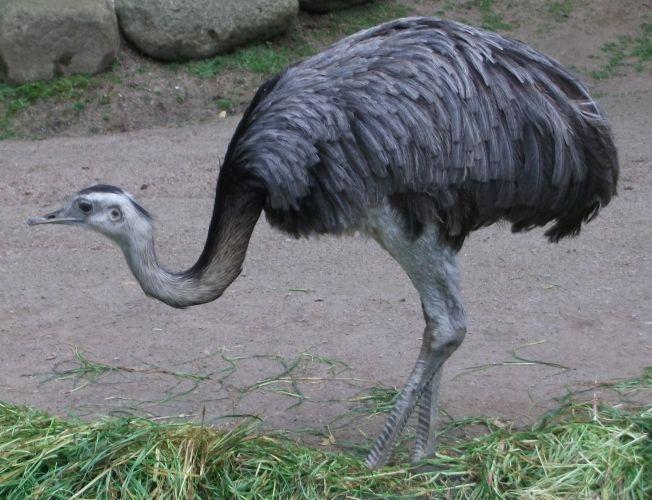 Nandu (Zoo Dortmund)