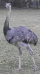 Nandu (Tierpark Hellabrunn)