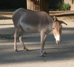 Onager (Zoo Augsburg)