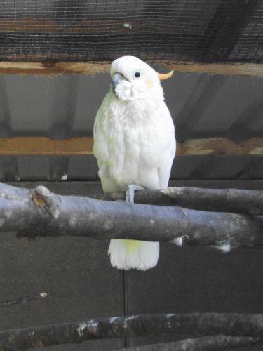 Orangehaubenkakadu (Vogelpark Irgenöd)