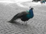 Blauer Pfau, Hahn (Zoo Augsburg)