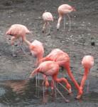 Kuba- und Chileflamingo (Tiergarten Nürnberg)