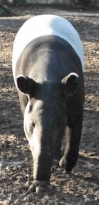 Schabrackentapir (Tierpark Hellabrunn)