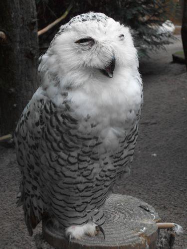 Schnee-Eule (Zoo Heidelberg)