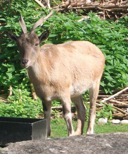Schraubenziege (Tierpark Hellabrunn)