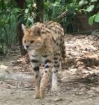 Serval (Zoo Schmiding)