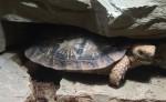 Spaltenschildkröte (Thüringer Zoopark)
