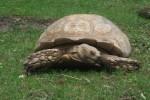 Spornschildkröte (Tiergarten Wels)