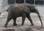 Afrikanischer Elefant (Zoo Osnabrück)