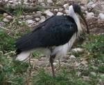 Strohhalsibis (Tierpark Hellabrunn)