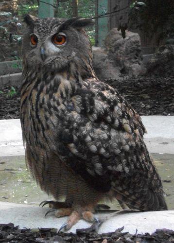 Uhu (Vogelpark Irgenöd)