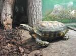 Waldschildkröte (Tiergarten Ulm)