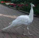 Weißer Pfau (Weltvogelpark Walsrode)