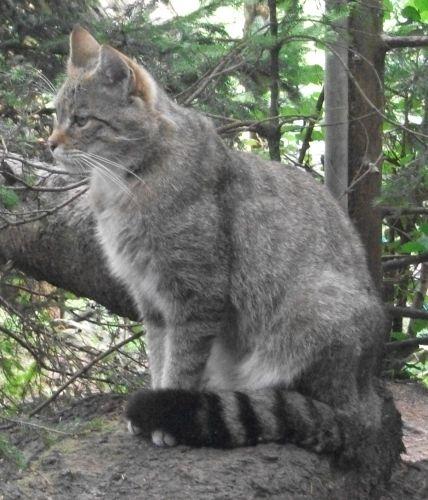 Wildkatze (Bayerwald-Tierpark Lohberg)