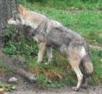 Wolf (Tierpark Hellabrunn)
