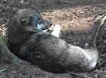 Wolf (Wildpark Poing)