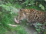 Amurleopard (Zoo Augsburg)