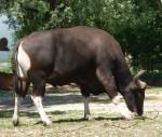 Banteng, männlich (Tierpark Hellabrunn)