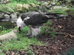 Bartgeier (Weltvogelpark Walsrode)