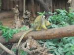 Bolivianischer Totenkopfaffe (Tiergarten Nürnberg)