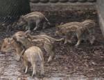 Münchner Borstelchen, Ferkel (Tierpark Hellabrunn)