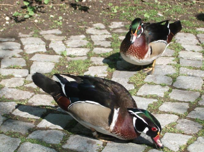 Brautenten (Tierpark Hellabrunn)
