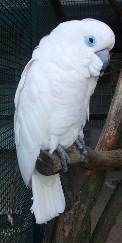 Brillenkakadu (Weltvogelpark Walsrode)