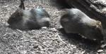 Großes Wildmeerschweinchen (Zoo Frankfurt)