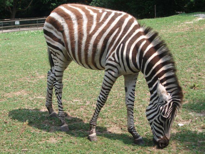 Chapman-Zebra (Zoo Linz)