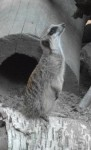 Erdmännchen (Zoologischer Garten Hof)