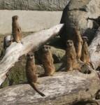 Erdmännchen (Zoo Linz)