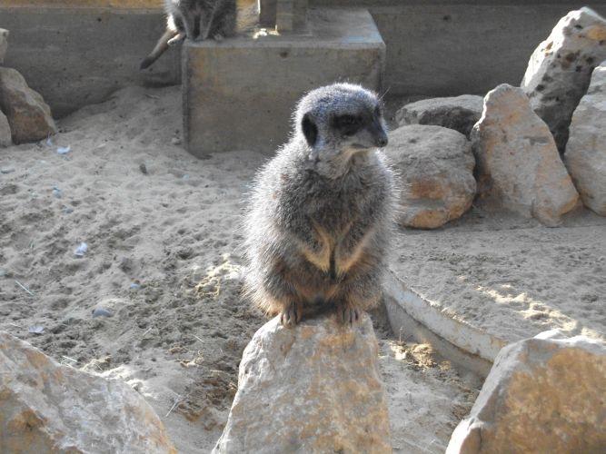 Erdmännchen (Zoo Augsburg)