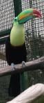 Fischertukan (Zoo Linz)