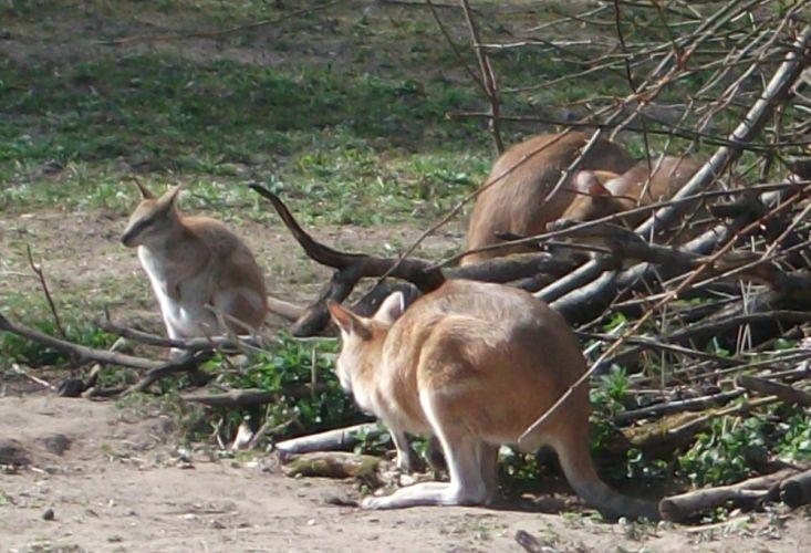 Flinkwallaby (Tierpark Hellabrunn)