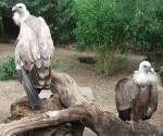Gänsegeier (Zoo Duisburg)