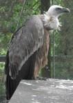 Gänsegeier (Weltvogelpark Walsrode)