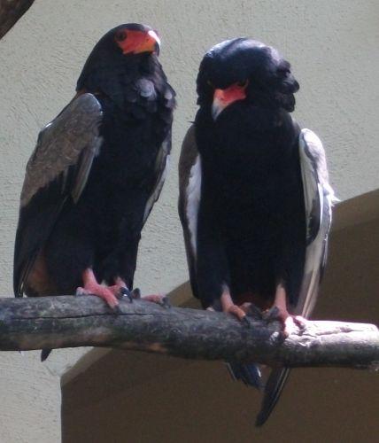 Gaukler (Zoo Frankfurt)
